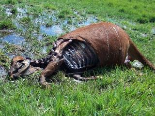 Mutilated carcass in grass