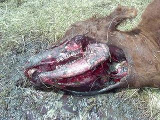 Head of mutilated animal
