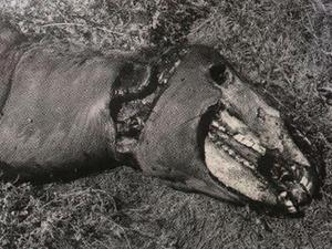 Mutilated horse head