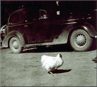Mike The Headless Chicken walking around